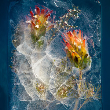 South African Flora Frozen in Ice