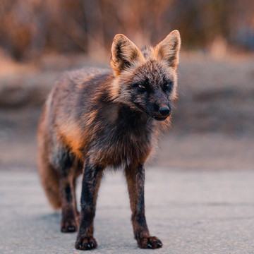 Photographer Captures the Beauty of Melanistic Cross Foxes