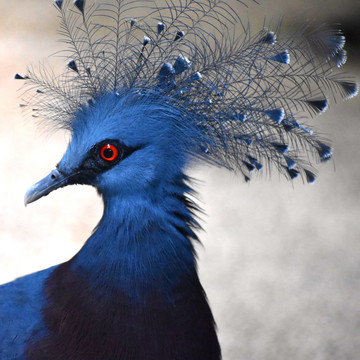The Fanciest Pigeon You'll Ever See