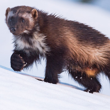 Following Wolverines